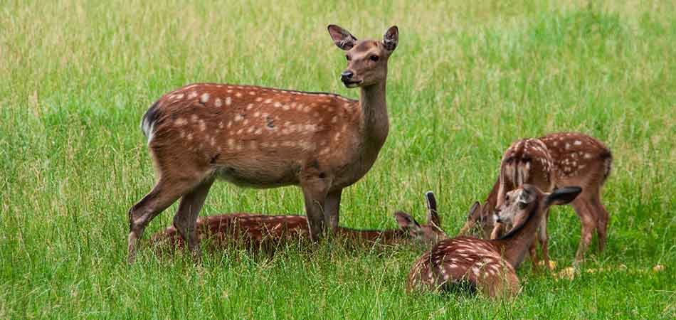 Doe with 3 fawns on a Scotch Plains, NJ property.