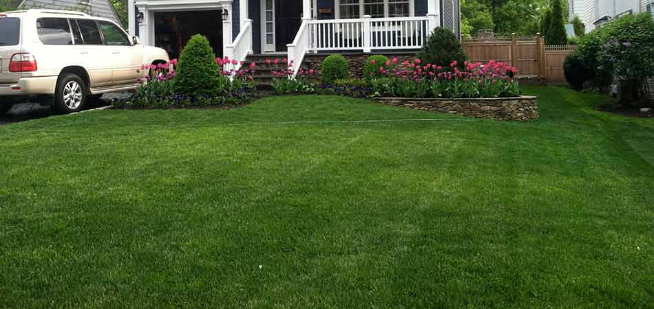 Sod was selected by this homeowner in Westfield, rather than overseeding.